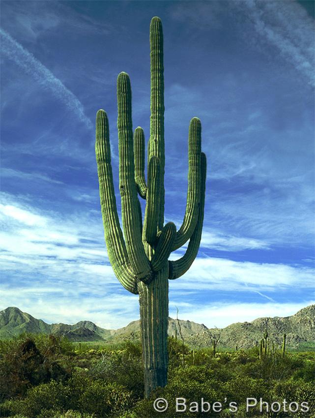 078-45 Mighty Saguaro - Tonto National Forest, Arizona