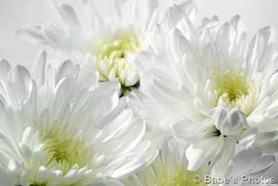 754-D Chrysanths in White - Phoenix, Arizona