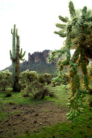 682-D Superstition Chainfruit -Superstition Mountains, Apache Junction, Arizona